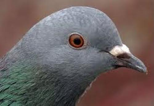 pigeon le CAC40